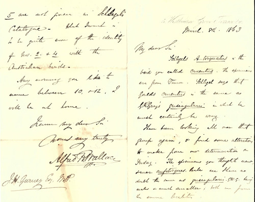 Letter from Alfred Russel Wallace to J H Gurney 1863, asking about various species of hawk