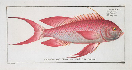 Engraving of Anthias Anthias at that time called Anthias Sacer. The Author ran out of resources while issuing this book and therefore every engraving had its own sponsor. This one has been sponsored by Sigmund Zois Freiherr von Edelstein. Author: Bloch, Marcus Elieser, 1723-1799. Item/Page/Plate: Pl. 315, opp. p. 86. Image in the Public Domain(https://creativecommons.org/publicdomain/mark/1.0/deed.en; PD-US), courtesy of The New York Public Library, www.nypl.org.