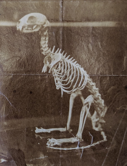 """Photograph from a museum letter book circa 1879. An anatomist wrote to offer information about the skeleton of a two-legged cat that was held in the museum. He claimed to have evidence that the cat lived a full life and gave birth to at least one litter of """"fully formed"""" kittens."""